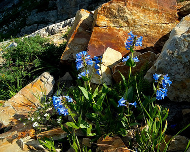 Penstemon Amoung the Rocks, Albion Basin, Utah