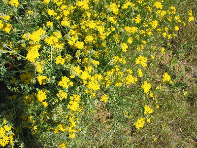 Yellow Yarrow