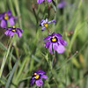 Wildflowers - Carpinteria Bluffs : 1 gallery with 40 photos