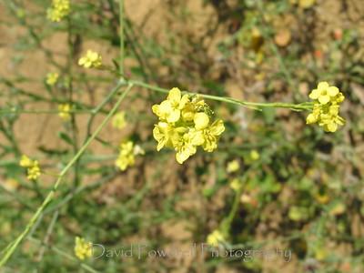 Black Mustard Grass