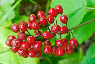 Baneberry-Red - Dunning Lake - Itasca County - MN-01