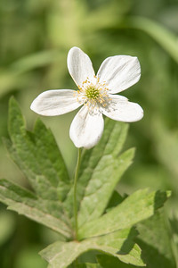 Anemone-Wood-Dunning Lake-Itasca County, MN