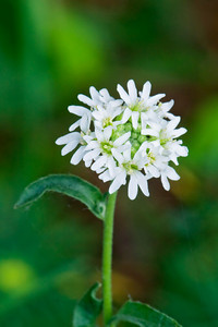 Alyssum-Hoary - Long Lake Regional Park - New Brighton, MN