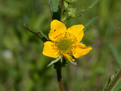 Avens-Yellow - Dunning Lake - Itasca County - MN