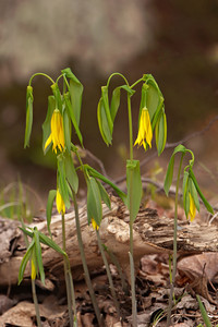 Bellwort-Large-flowered - Bowens-Williams Road - Itasca County, MN