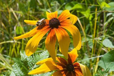 Blanket Flower - Dunning Lake - Itasca County - MN