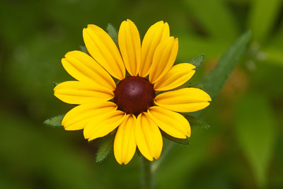 Black-eyed Susan - Dunning Lake - Itasca County - MN-01