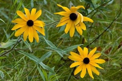 Black-eyed Susan -Moose Lake, MN