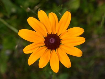 Black-eyed Susan - Dunning Lake - Itasca County - MN-04