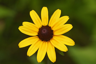 Black-eyed Susan - Dunning Lake - Itasca County - MN-02