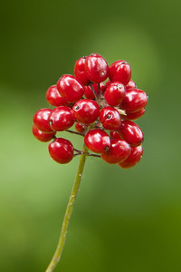 Baneberry-Red - Dunning Lake, MN-02