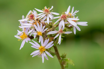 Aster-White-Dunning Lake-Itasca County, MN