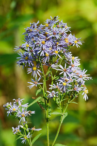 Aster-Purple - Cook County, MN