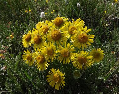 Sunflower, Alpine