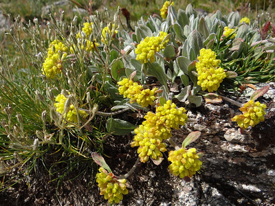 Buckwheat, Alpine Golden