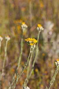19_Paradise-MtFig_0142-dusty-soft  Yellow Yarrow ~ Eriophyllum confertiflorum