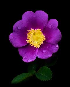 Wild Rose, Joyce valley, Washington