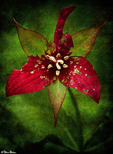 Sometimes life throws us unexpected curves.  It damages us.  I saw this red trillium still blooming at  the edge of the Holly Trail in the Erie National Wildlife Refuge.  It reminded me then, and does now, that no matter how much damage you absorb - stand tall.  Never go quietly into the night.