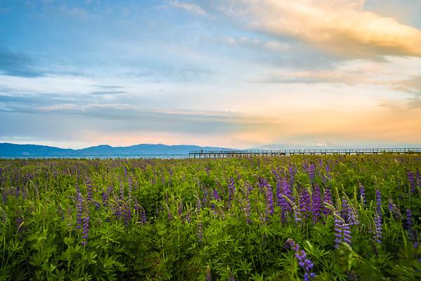 Tahoe Lupine Sunset