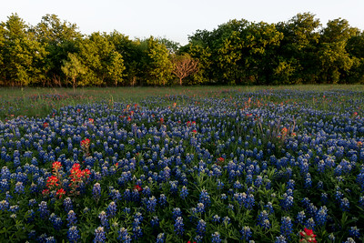 Bluebonnets and Paintbrush near Mart, Texas