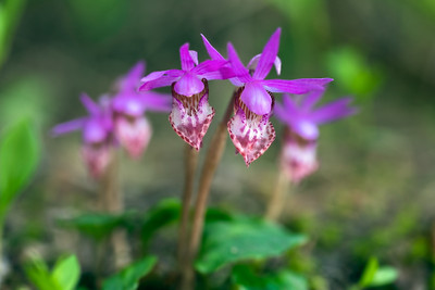 Fairyslipper Wildflower Delight, aka deer's head orchid - Calypso bulbosa