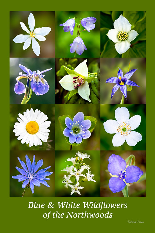 Blue and White Wildflowers of the Northwoods