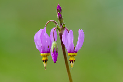 Pretty shooting star wildflowers #3 - Dodeecatheon pulchellum
