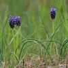Muscari botryoides - Blauwe druifjes - Grape Hyacinth - Jacinto de la uva