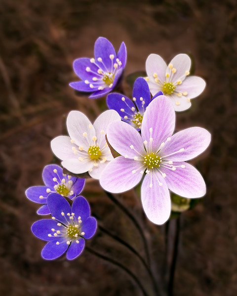 Hepatica (May Flower)