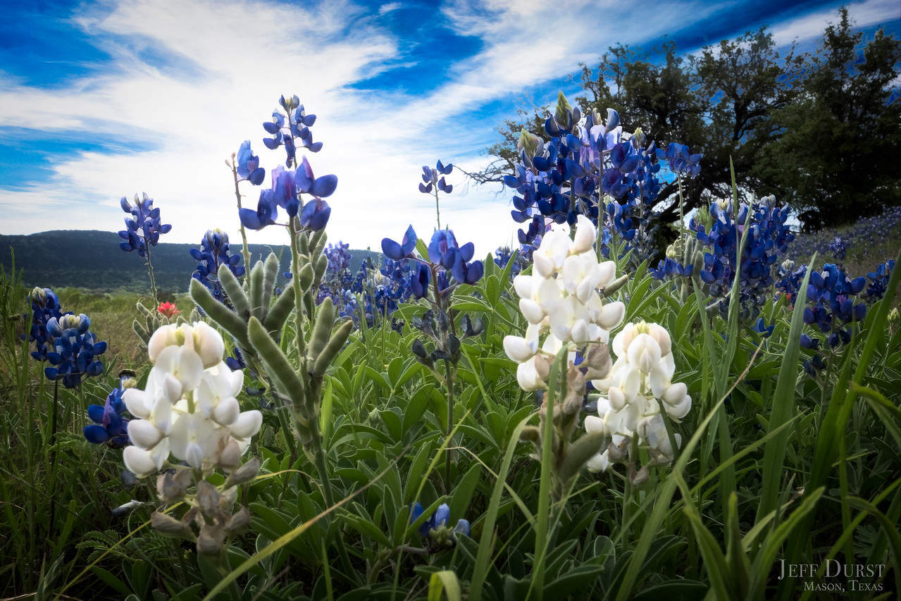 White Bluebonnets 2018