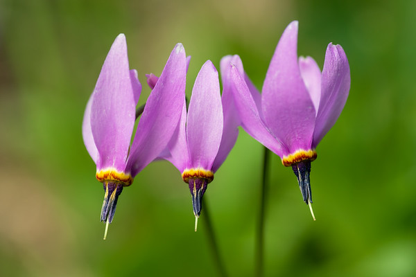 Bonneville shooting star wildflowers - Dodecatheon conjugens