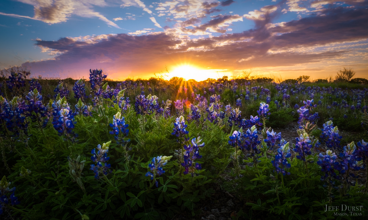Bluebonnet Sunburst 2018