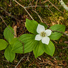 A Bunchberry dogwood (Cornus canadensis) flower on the trail to Hurricane Mountain.