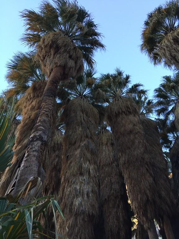 . Palms surrounding oasis, Borrego Palm Canyon, Anza-Borrego Desert State Park