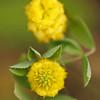 Trifolium campestre - Liggende klaver - Hop Trefoil or Low Hop Clover - Trébol amarillo