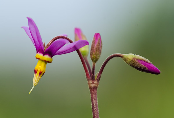 Shooting star wildflower buds