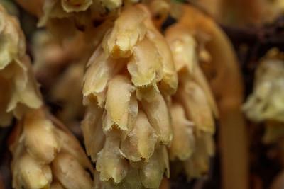 Yellow birdsnest, yellow pinesap, monotropa hypopitys