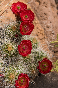 Claret cup cactus flowers in Capitol Reef National Park, Utah.