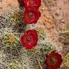 Claret cup cactus flowers in Capitol Reef National Park, Utah.
