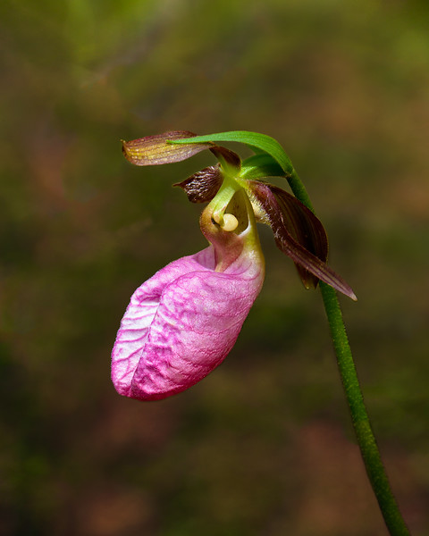 Pink Moccasin Lady Slipper