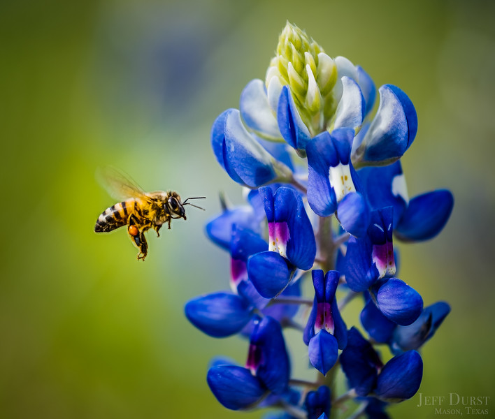 Bluebonnet and Bee Close-up
