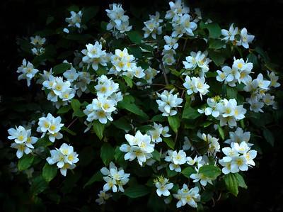 Mock-Orange, a native shrub of Washington State