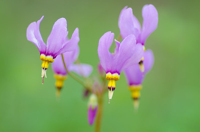 Pretty shooting star wildflowers #2 - Dodeecatheon pulchellum