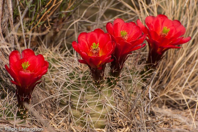 Claret Cup Cactus in bloom near Canyonlands National Park, Utah.
