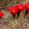 Claret Cup Cactus in bloom near Canyonlands National Park, Utah.