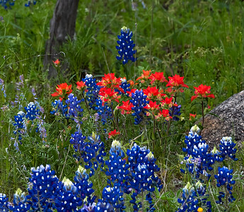 Bluebonnets and Indian paint Brush along Hwy 16 south of Llano, Texas