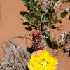 Prickly Pear Cactus in Arches National Park, Utah.