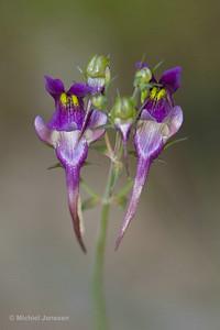 Linaria triornitophora - Vlasleeuwebek - Three Bird Toadflax - Parajillos