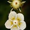 Parnassia palustris - Parnassia - Marsh Grass-of-Pernassus