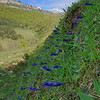 Gentiana acaulis - Kochs gentiaan - Stemless Gentian - Genciana azul